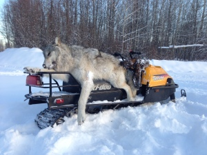 Wolf skins can sell for between $100 and $400.